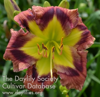 Daylily Photo - Mark of the King
