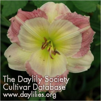 Daylily Photo - Master Of The Moon
