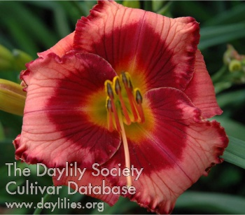 Daylily Photo - Mississippi Memento