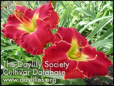 Daylily Photo - Mississippi Red Dragon
