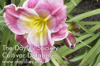 Daylily Photo - Morrie Otte