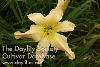 Daylily Photo - Mr Obvious