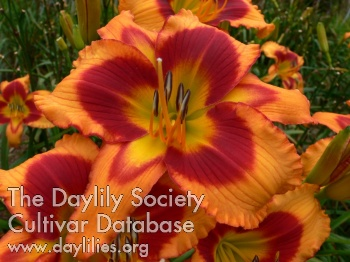 Daylily Photo - My Pet Dragon