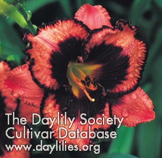 Daylily Photo - Meet Joe Black