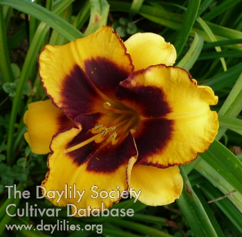 Daylily Photo - Now and Zen