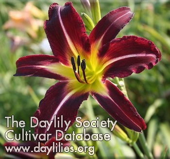 Daylily Photo - Off to See the Wizard