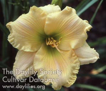 Daylily Photo - Optical Delight
