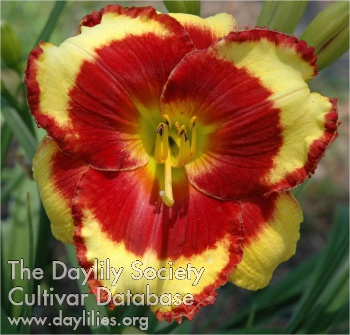 Daylily Photo - Paco Bell