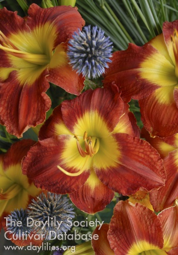Daylily Photo - Passion For Red