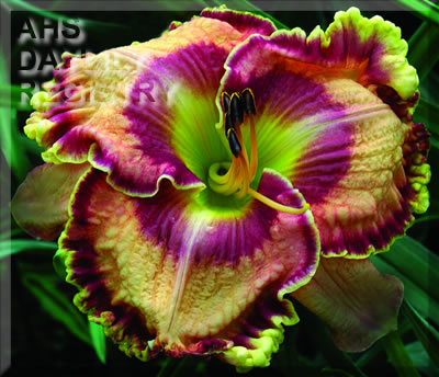 Daylily Photo - Passion And Style