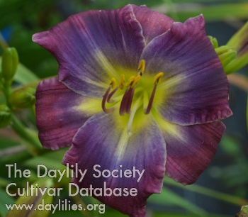 Daylily Photo - Path of the Storm