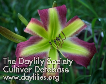 Daylily Photo - Pea Green with Envy