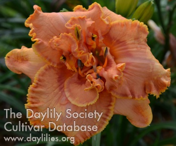 Daylily Photo - Peach Sangria
