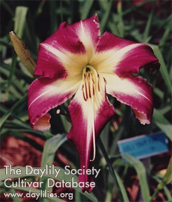 Daylily Photo - Peacock Maiden