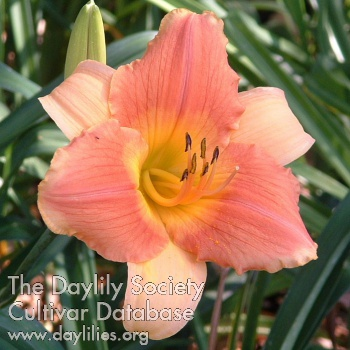 Daylily Photo - Petruchio