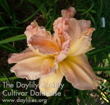 Daylily Photo - Pink Peppermint