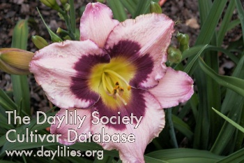 Daylily Photo - Pirate's Promise