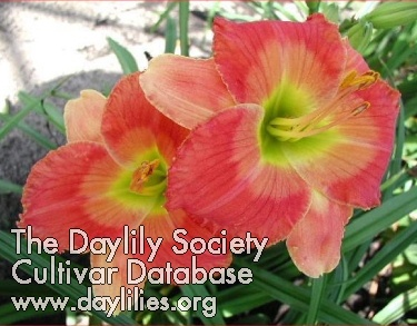 Daylily Photo - Please Say Yes
