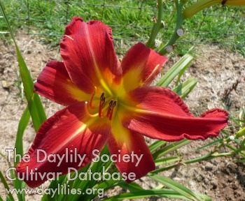 Daylily Photo - Point Of View
