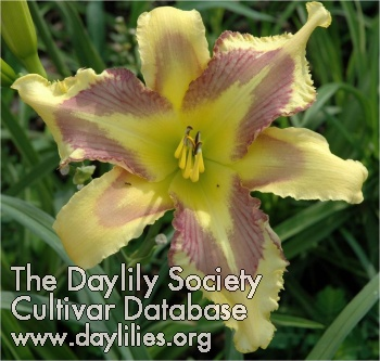 Daylily Photo - Points of Pride