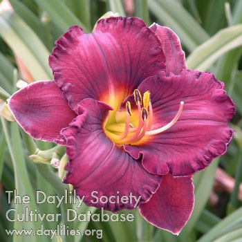 Daylily Photo - Prince Charming Returns
