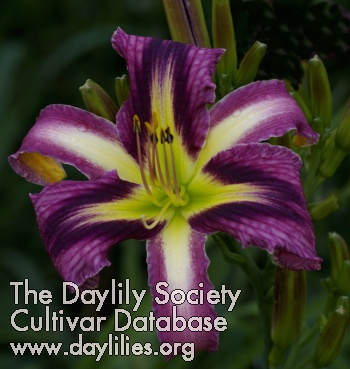 Daylily Purple Penguin