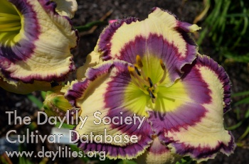 Daylily Photo - Pandora's Charm