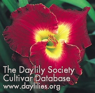 Daylily Photo - Passion In Paris