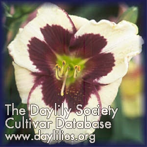Daylily Photo - Piano Man
