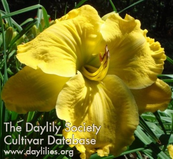 Daylily Photo - Ram