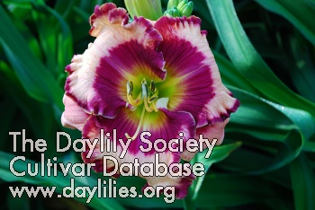 Daylily Photo - Raspberry Mountain