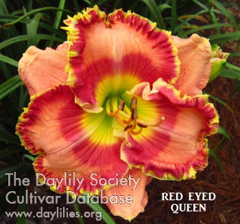 Daylily Photo - Red Eyed Queen