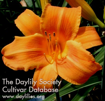 Daylily Photo - Rocket City