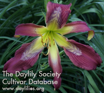Daylily Photo - Rainbow Dragon