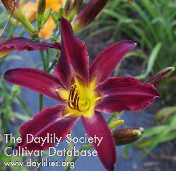 Daylily Photo - Rainbow Butterfly