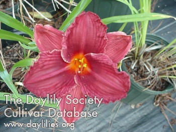 Daylily Photo - Raspberry Wine