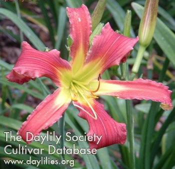 Daylily Photo - Raspberry Star