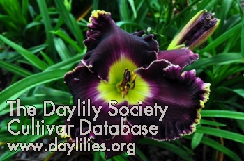 Daylily Photo - Raven's Song