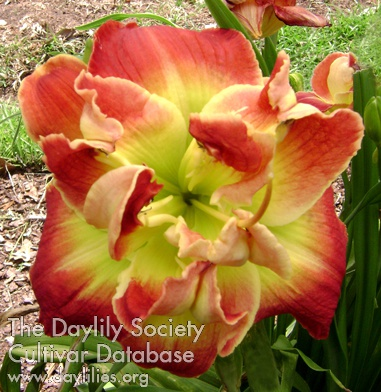 Daylily Photo - Reality Shift