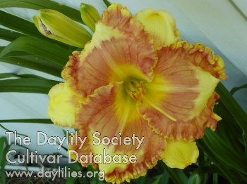 Daylily Photo - Rebecca's Smile