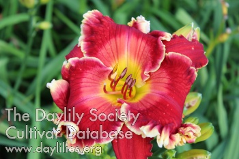Daylily Photo - Red Edition
