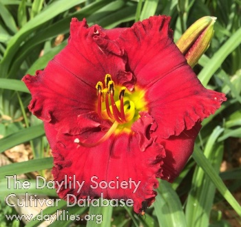 Daylily Photo - Red Rules