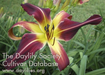 Daylily Photo - Red Pinnacle