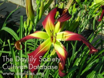 Daylily Photo - Red Wine Romance