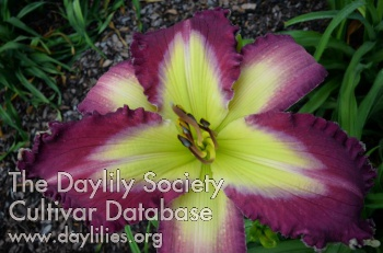 Daylily Photo - Refreshing Jewel