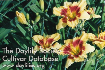 Daylily Photo - Renegade Lady