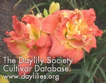 Ring Of Honor Daylily