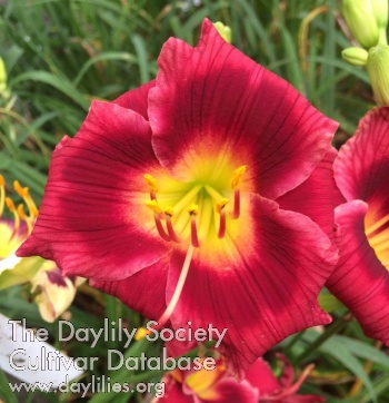 Daylily Photo - Rise Up Rose