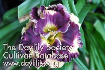 Daylily Photo - Rock My World