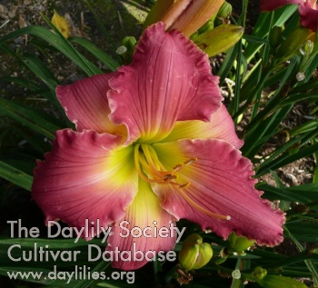 Daylily Photo - Rose Masterpiece